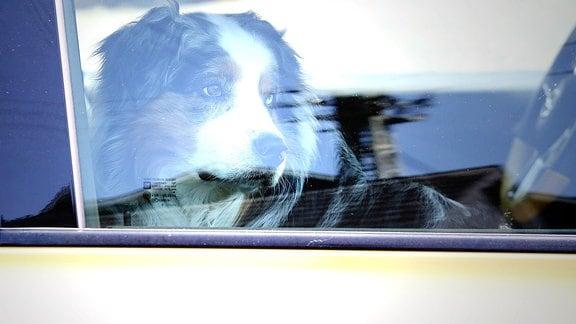 Symbolbild, Ein Hund sitzt bei heissen Temperaturen im Auto.