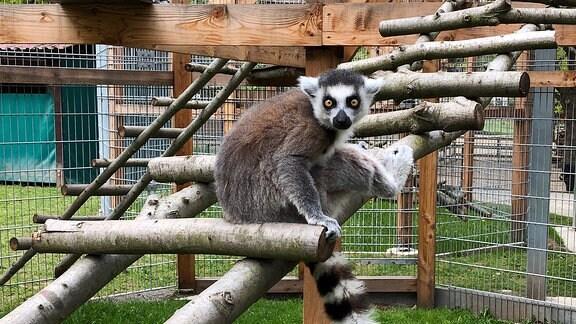 Ein Lemur sitzt auf einer Sprosse einer aus Ästen gebauten Leiter