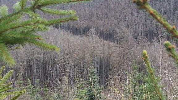 Blick auf ein Stück Wald, in dem die meisten Bäume abgestorben sind.