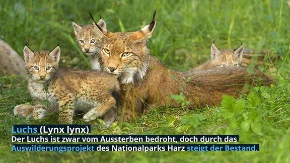 Luchs (Lynx lynx): Der Luchs ist zwar vom Aussterben bedroht, doch durch das Auswilderungsprojekt des Nationalparks Harz steigt der Bestand.