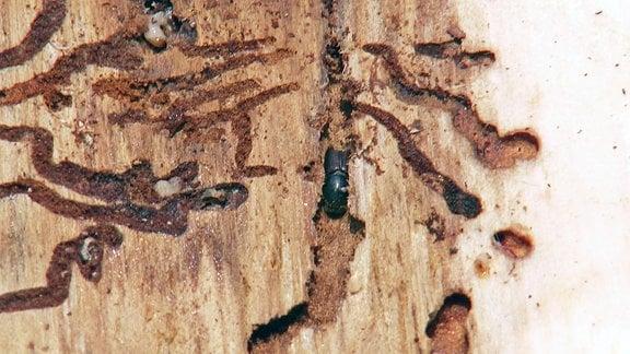 Maden und Käfer fressen sich durch ein Stück Holz.