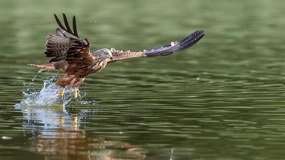 Rotmilan (Milvus milvus) jagend über einer Wasseroberfläche.