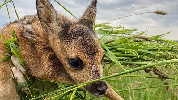 Ein Rehkitz liegt im Gras