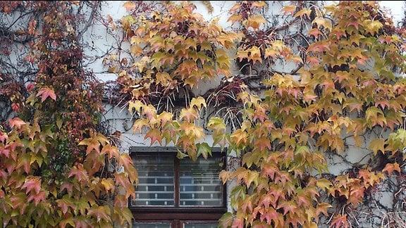 Wilder Wein wächst an einer Hausfassade