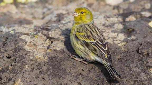 Kanarienvogel sitzt auf einem Gesteinsbrocken,