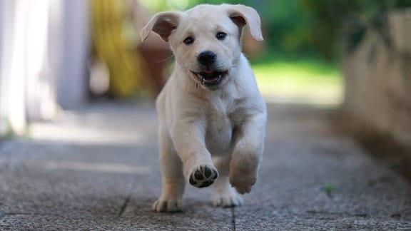 Rennender Labrador Retriever Welpe