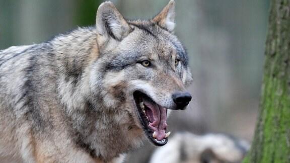 Ein Europäischer Grauwolf in einem weitläufigen Gehege im Wald