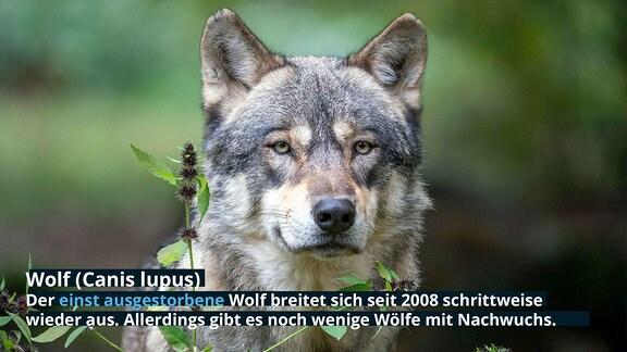 Wolf (Canis lupus): Der einst ausgestorbene Wolf breitet sich seit 2008 schrittweise wieder aus. Allerdings gibt es noch wenige Wölfe mit Nachwuchs.