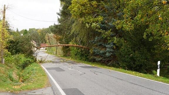 Baum fällt in Telefonleitung 21.10.2021 Pfaffendorf, Landkreis Görlitz