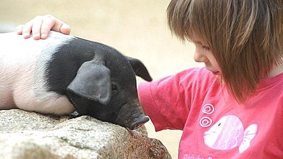 Ein Mädchen streichelt ein Sattelschwein.
