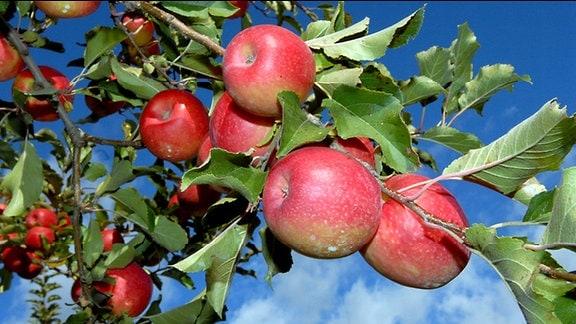 Reife Äpfel an einem Apfelbaum