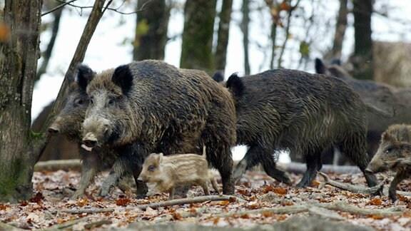 Eine Wildschweinrotte mit Frischlingen im Wald