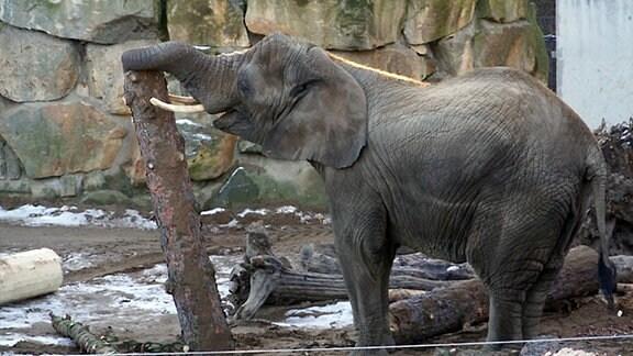 Elefanten verspeisen Dresdens höchsten Weihnachtsbaum