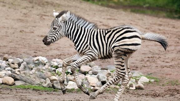 Zebrafohlen Django auf der Außenanlage im Zoo Dresden. Django wurde am 11. Mai 2021 geboren.