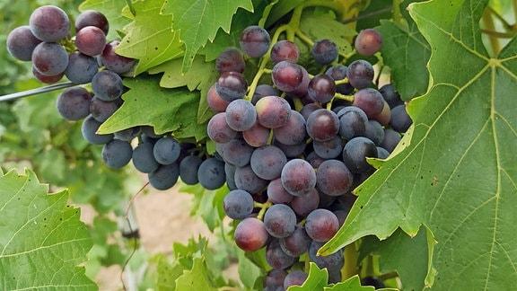 Trauben hängen an einer Weinrebe.