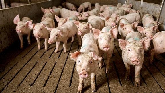 Schweine im Stall.