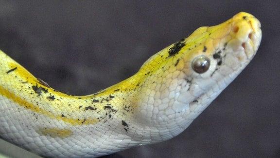 Gelbe Schlange im Tierheim Leipzig