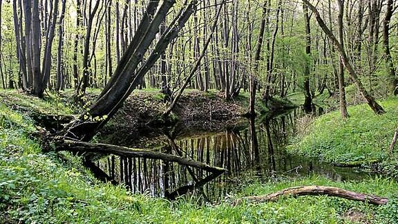 Bach im Auwald