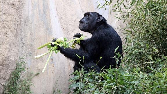 Schimpanse auf der Außenanlage Pongoland