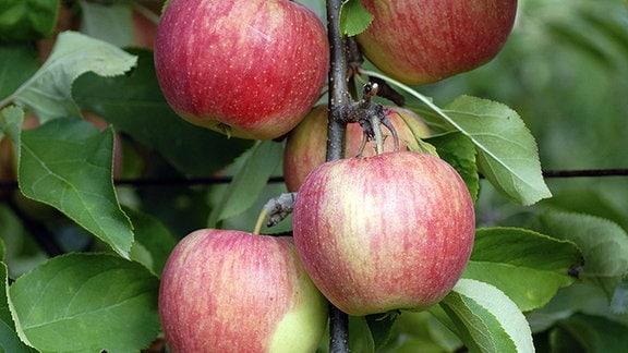 Äpfel der Sorte «Shampion»