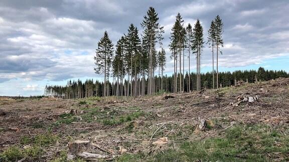 Abgeholzter Nadelwald, aufgenommen in Koenigshain