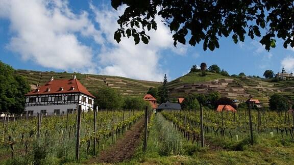 Weinbergen in Radebeul