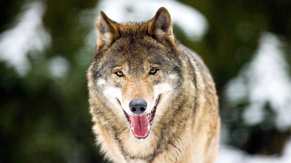 Ein Wolf durchstreift eine winterliche Landschaft.