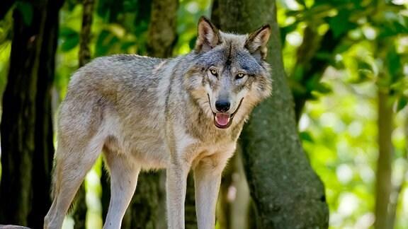 Ein Wolf in einem sonnigen Wald