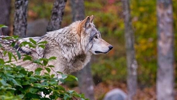 Ein Wolf in einem herbstlichen Wald