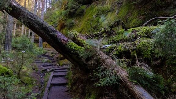Baumschäden an Wanderweg durch den Schießgrund im Schrammsteingebiet in der Sächsischen Schweiz
