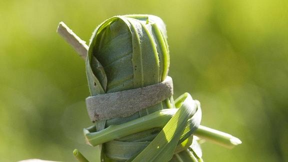 Indianerpflaster: Spitzwegerich mit Gras um den Daumen gewickelt