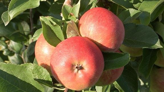 reife Äpfel hängen an einem Ast