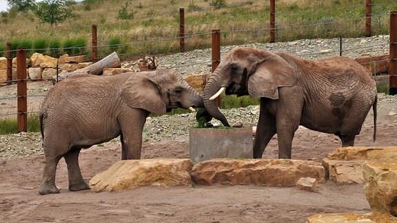 Elefanten in einem Freigehege