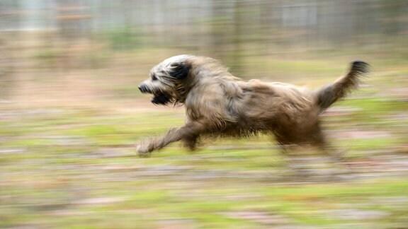 Ein Katalanischer Schäferhund läuft durch einen Wald