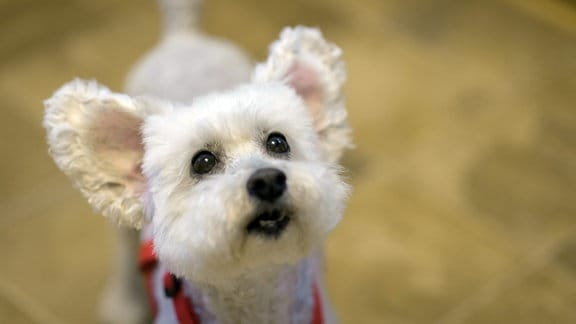 Kleiner Hund macht Hundeblick