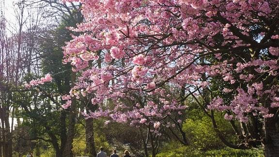 Spaziergänger unter Kirschblüte am Elbhang