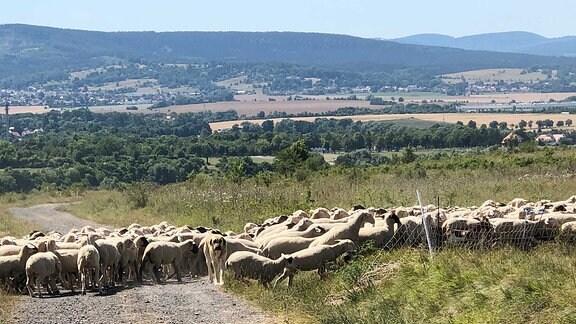 Ein Herdenschutzhund steht in einer Schafherde.