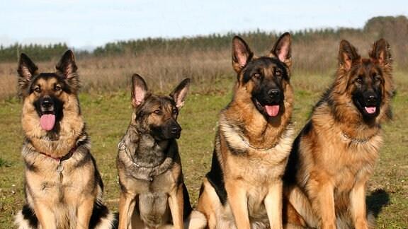 Einige Schäferhunde sitzen im Gras.