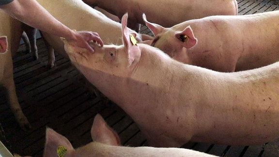 Ein Schwein wird gekrault.