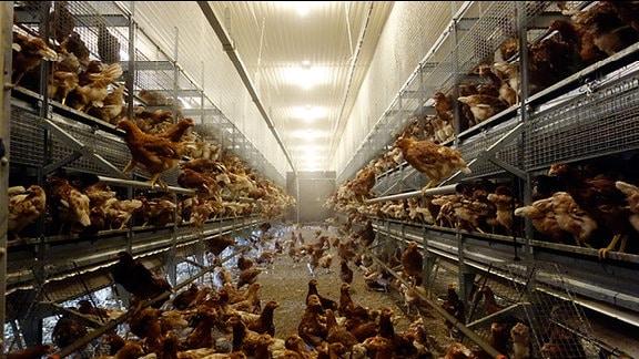 Zahlreiche Hühne in einem Stall mit offenen Metallaufbauten, auf und in denen sich weitere Hühner befinden