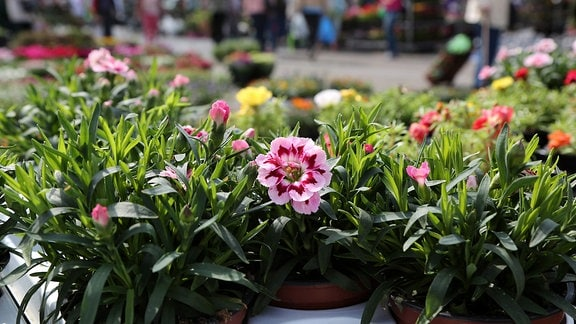 Auf dem Erfurter Domplatz wird am Freitag der 28. Blumen- und Gartenmarkt eröffnet. Insgesamt sind 144 Händler und Gewerbetreibende vor Ort, die Hälfte davon sind Gärtner. Die meisten kommen aus Thüringer Gartenbaubetrieben. Aber auch Händler aus sieben anderen Bundesländern wollen ihre Balkon- und Beetpflanzen verkaufen. Auch rund 2.000 Kakteen sind im Angebot