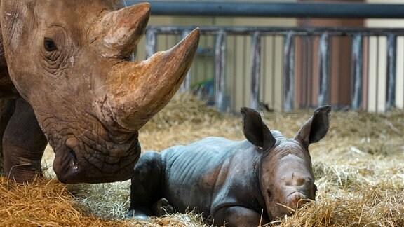 Ein junges Nashorn liegt neben seiner Mutter im Stroh.