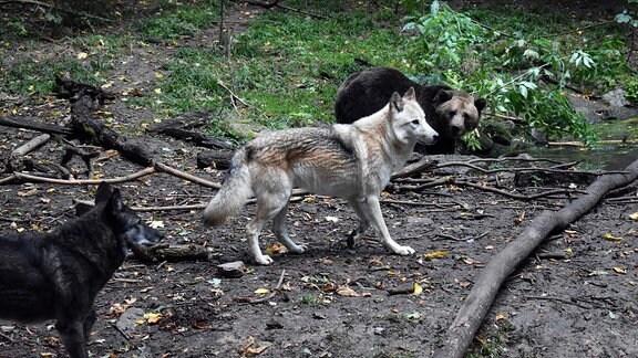 Die Wolfs-Hybriden Ronja und Raik zum ersten Mal im Freigehege mit Bärin Daggi.