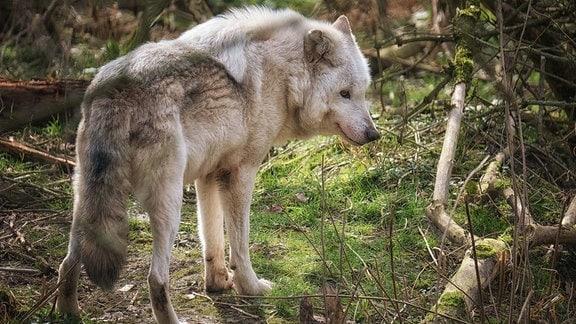 Eine Wölfin steht in einem Wald.