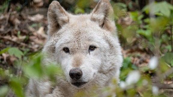 Die verstorbene Wölfin Adena aus dem Bärenpark Worbis