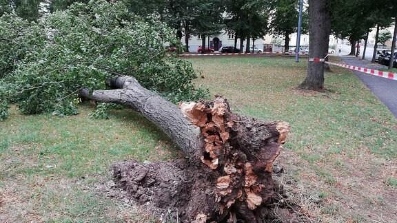 """Ein durch das Sturmtief """"Kirsten"""" umgestürzter Baum auf einem Spielplatz in Weimar."""