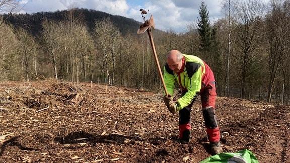 Forstmann Uwe Büchner pflanzt kleine Traubeneiche mit der Pflanzhacke.