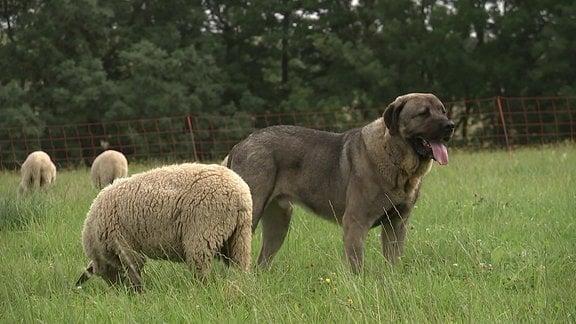 Ein Hund schaut in die Ferne. Hinter ihm ein grasendes Schaf.