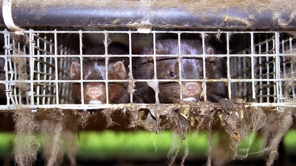 Zwei Nerze in einem Käfig