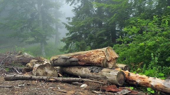 Abgeholzter Wald in Rumänien